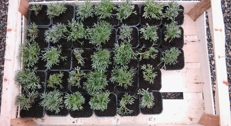 Plants de g n pi noir vendre g n pi des hautes alpes - Plant de rhubarbe a vendre ...