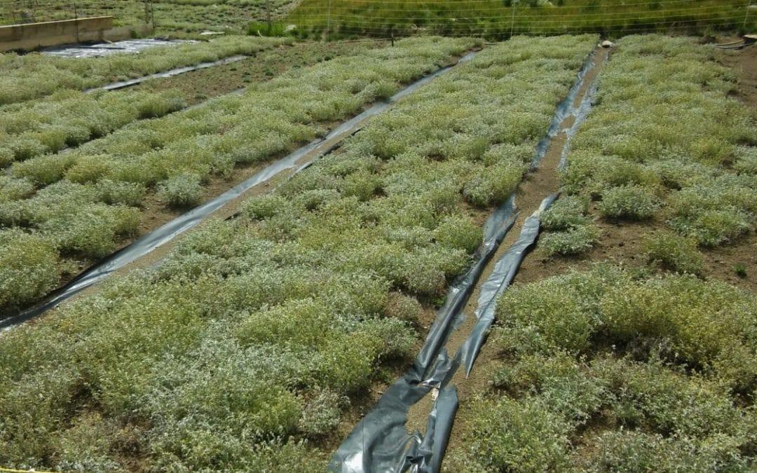 génépi05.fr - plantation en fleur