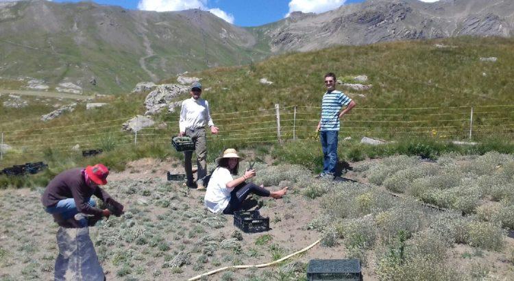 Genepi Des Hautes Alpes Brins Et Fleurs De Genepi En Sachets